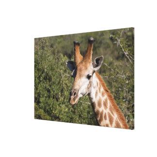 Toile Détail principal de girafe