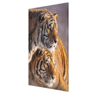 Toile Deux tigres sibériens ensemble, la Chine