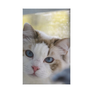 Toile enveloppée par chat blanc de Ragdoll