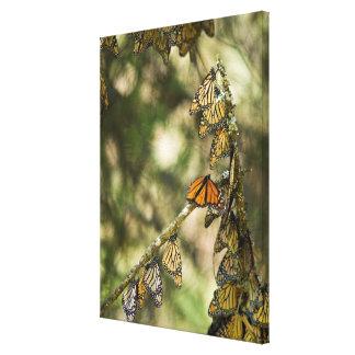 Toile Groupe de monarque Butterfies, Mexique