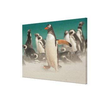 Toile Groupe de pingouin sur la plage, Malouines