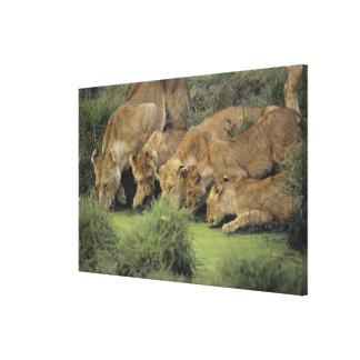 Toile Herbe sentante africaine de lions (Panthera Lion),