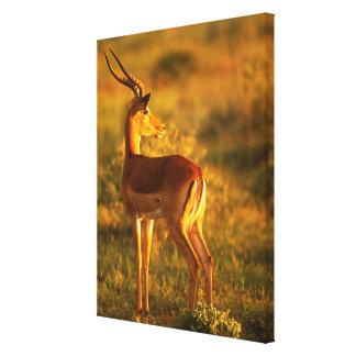 Toile Impala dans la lumière d'or