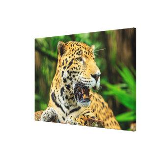 Toile Jaguar montre ses dents, Belize