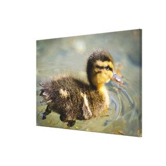 Toile Jeune canard de bébé