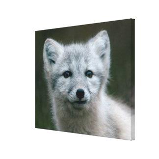 Toile Kit de Fox arctique des images | de Getty