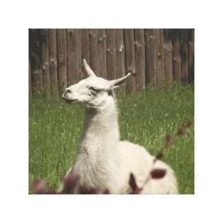 Toile Lama blanc