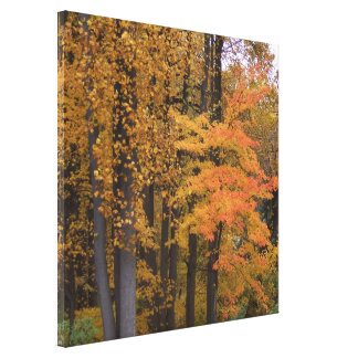 Toile Le bel automne laisse des arbres de peuplier de