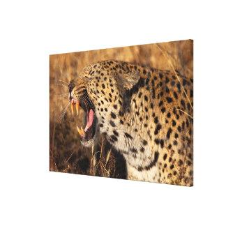 Toile Le léopard de baîllement montre des dents
