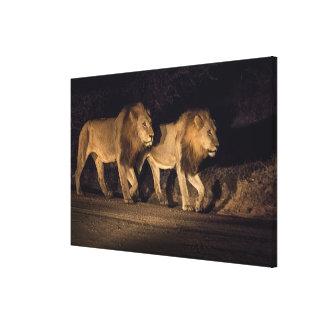 Toile Lions masculins marchant la nuit