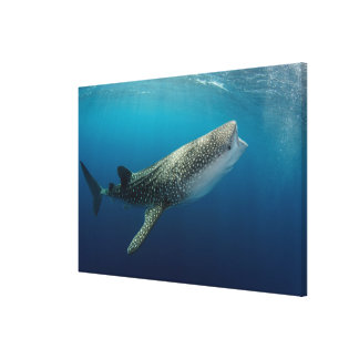 Toile Natation de requin de baleine
