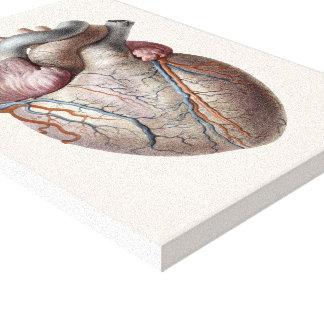 Toile Organes humains vintages de coeur d'anatomie sains