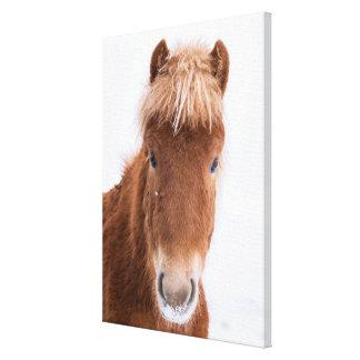 Toile Portrait de cheval islandais