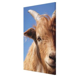 Toile Portrait de chèvre de cachemire