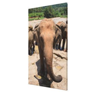 Toile Portrait de groupe d'éléphant, Sri Lanka