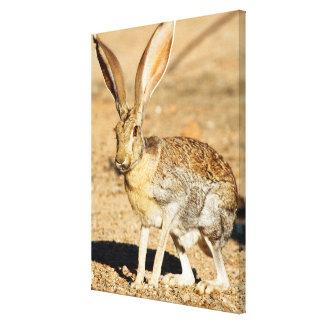 Toile Portrait de lièvre d'antilope, Arizona