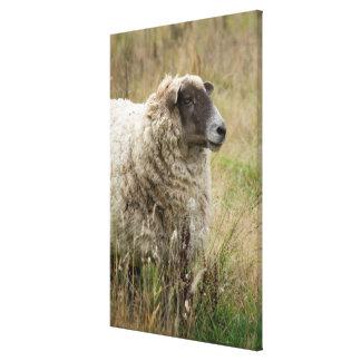 Toile Portrait de moutons