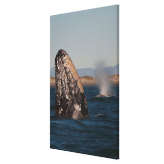 Toile Portrait de tête de baleine grise