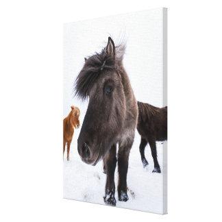 Toile Portrait islandais de cheval, Islande