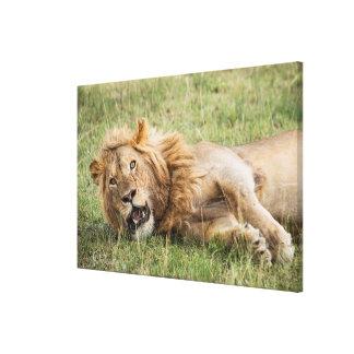 Toile Repos masculin de lion