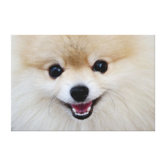 Toile Spitz nain de Pomeranian
