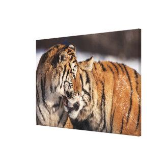 Toile Tigres montrant l'affection