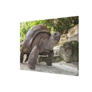 Toile Tortue géante d'Aldabra