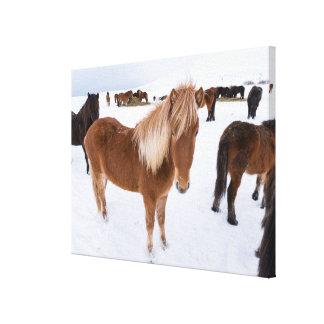 Toile Troupeau de chevaux islandais en hiver