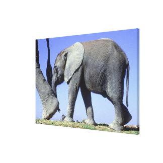 Toile Veau d'éléphant africain