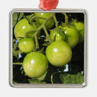 Tomates vertes accrochant sur le plante dans le ornement carré argenté