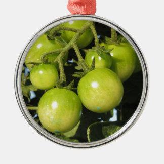 Tomates vertes accrochant sur le plante dans le ornement rond argenté