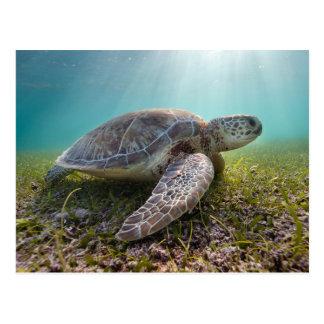 Tortue de mer verte à la baie du crépuscule | cartes postales