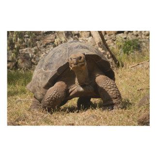 Tortue géante curieuse | Galapagos Impression Sur Bois
