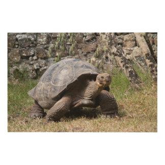 Tortue géante | Galapagos Impression Sur Bois