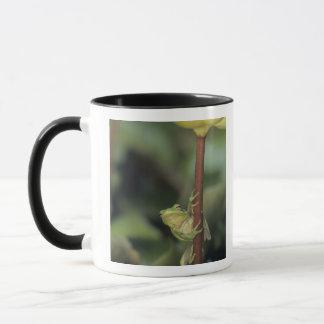 Treefrog vert, Hyla cinerea, adulte sur le jaune Mug