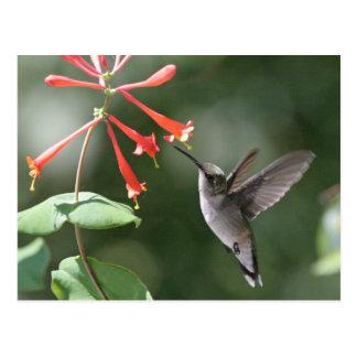 Trésors de colibri carte postale