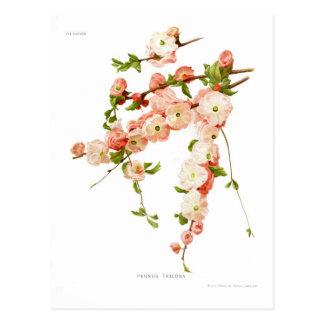 Triloba de Prunus (amande fleurissante) Carte Postale