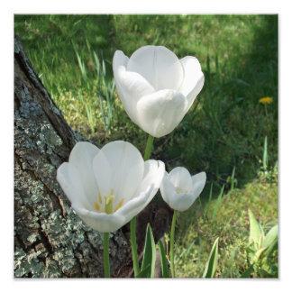 Trio blanc de fleur de tulipes photos sur toile