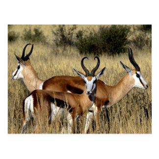 Trio d'antilope carte postale