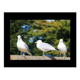 Trio de carte postale de mouettes
