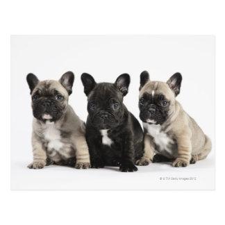 Trois chiots de pure race carte postale