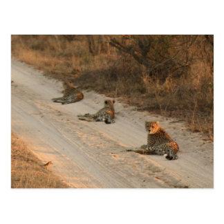 Trois guépards sur le chemin de terre au lever de cartes postales