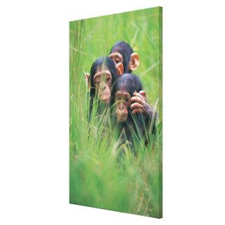 Trois jeunes chimpanzés (troglodytes de casserole) toiles