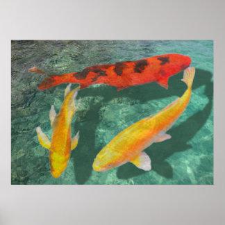 Trois Koi mélangé dans une piscine Affiches