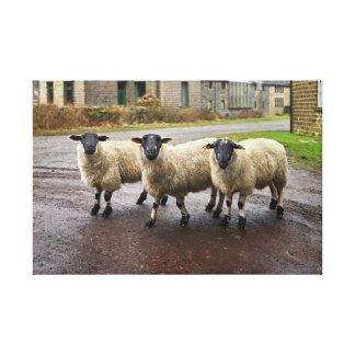 Trois moutons, photographie toiles
