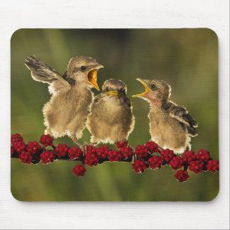 Trois oiseaux de Schach de Lanius de bébé Tapis De Souris