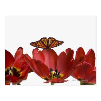 Trois tulipes rouges et un papillon de monarque carte postale