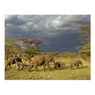 Troupeau d'éléphant africain, africana de carte postale