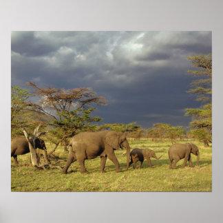 Troupeau d'éléphant africain, africana de Loxodont Affiches