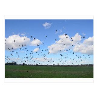 Troupeau des pigeons carte postale